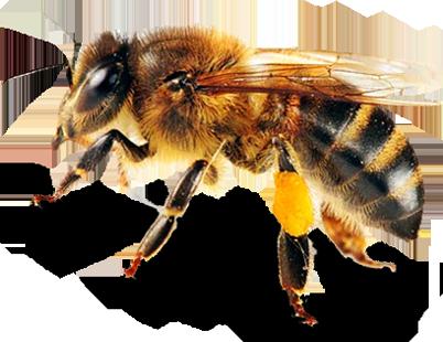 Včela s pylem